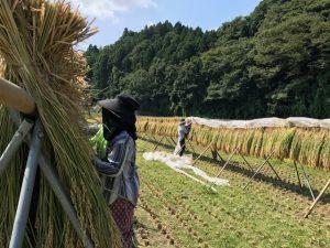 稲刈り・おだがけ・山方宿・日曜日